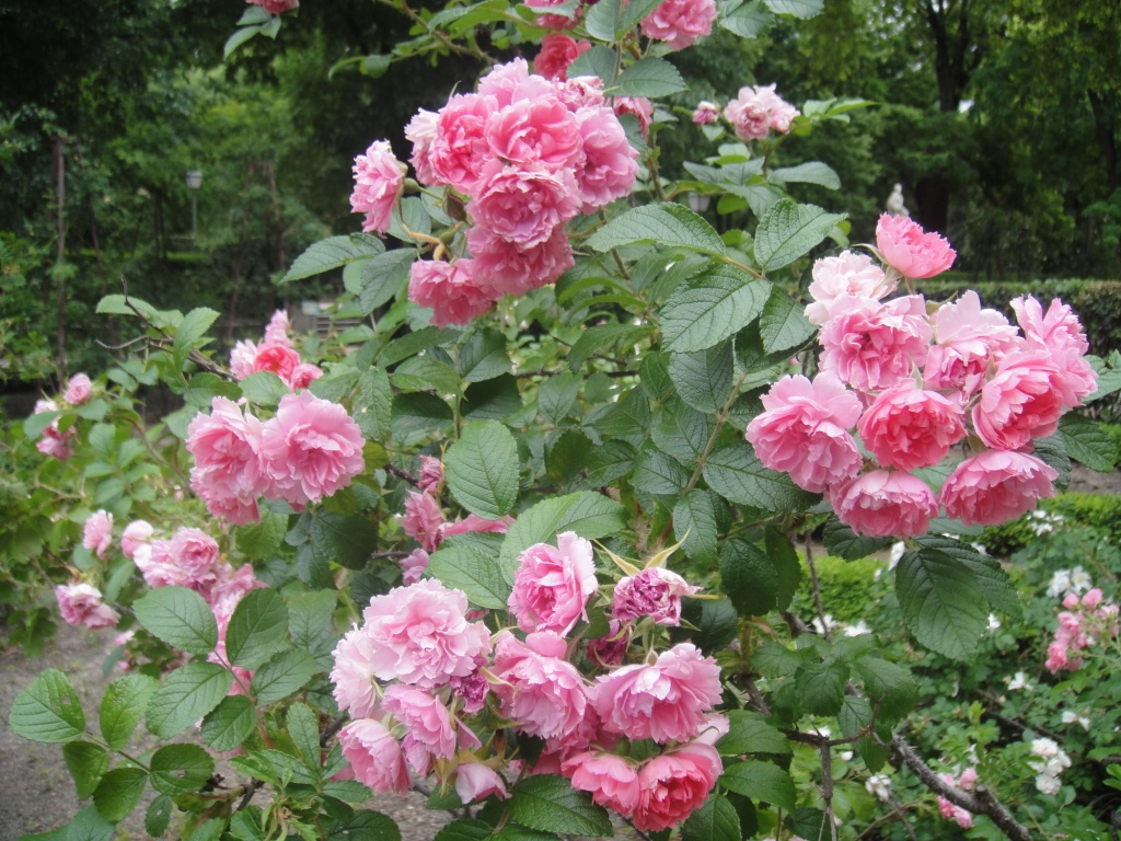 Image Result For Rosa Mosqueta Color