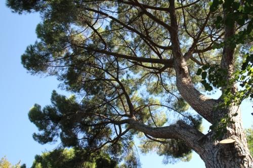 pino mediterraneo