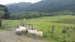 l v ovejas